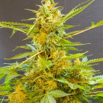 Сативные семена марихуаны