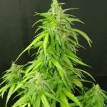 Регулярные семена конопли - фотопериодичные сорта марихуаны от Gold-Seeds!