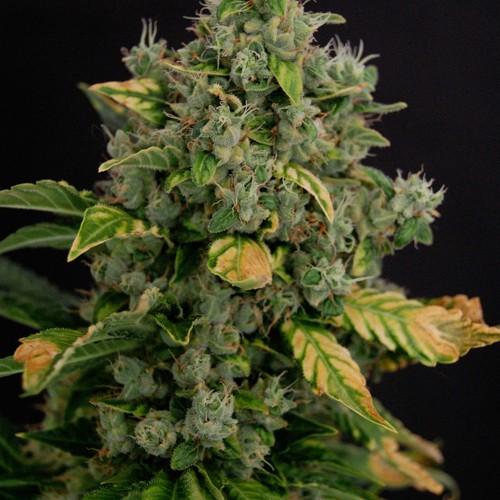 Феминизированные семена конопли автоцветущие сорта Cream Gold (Крем Голд ТГК 20%)