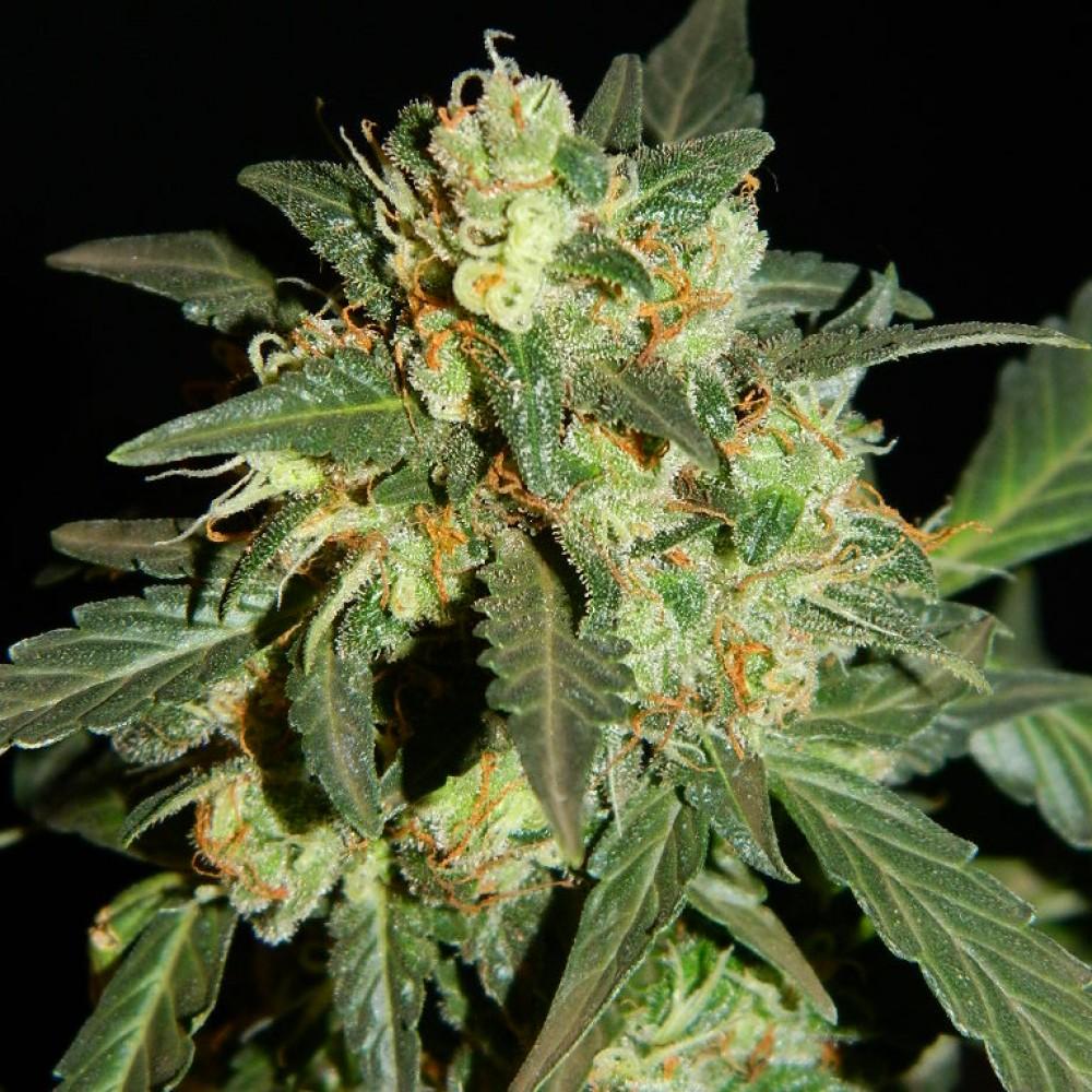 Не пахнущий сорт конопли как измельчить марихуану