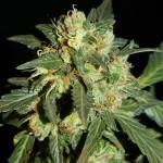 Автоцветущие семена конопли сорта Anubis - 20% (Анубис)