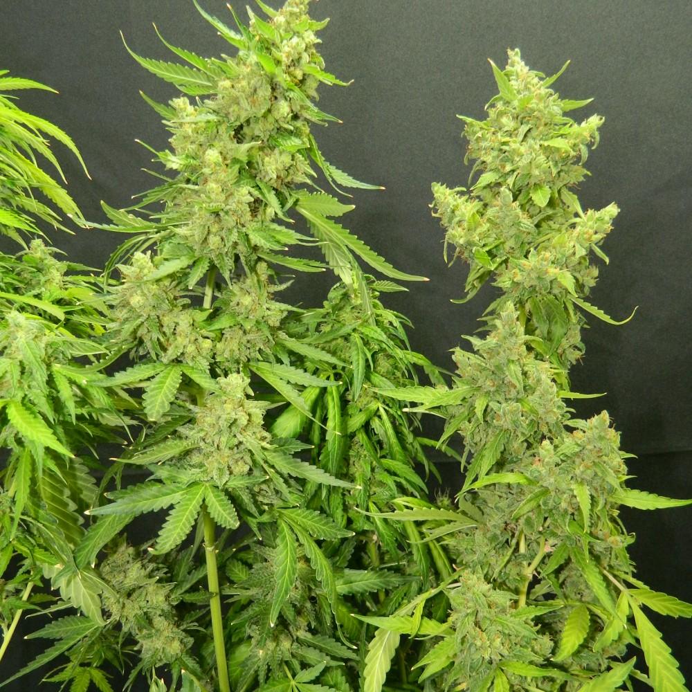 Семена марихуаны киров чем опрыскивать коноплю