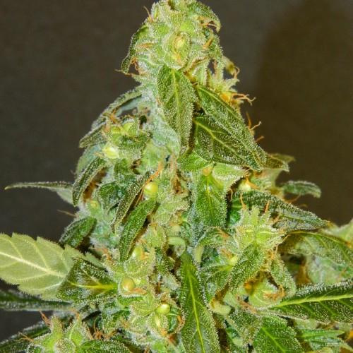 Автоцветущие семена конопли феминизированные Kaya Gold ТГК 22%