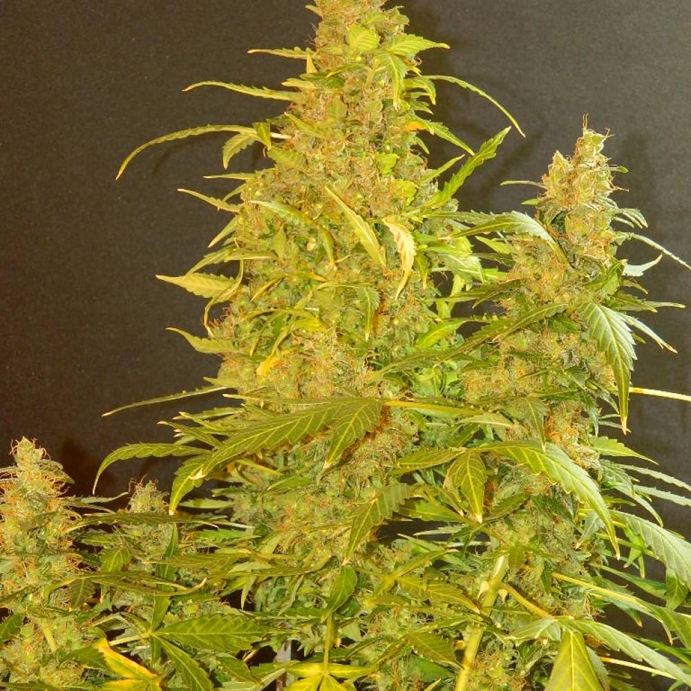 Казахстане купить семена конопли марихуана есть на пхукете