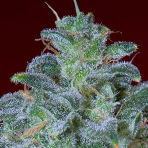Автоцветущие семена марихуаны феминизированных сортов AK-47 (ТГК 20%)